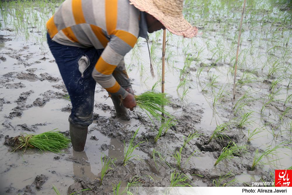 هرساله کشاورزان مازندران بر اساس شغل پدرانشان با زحمت فراوان به شالیکاری در دو نوبت از سال ...