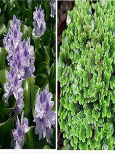 ممنوعیت خرید و فروش دو گونه گیاهی مهاجم آزولا و سنبل آبی