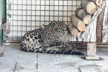 پلنگ ایرانی «ارس» نفس های آخر را در باغ وحش مشهد می کشد