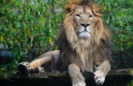 شیر نر ایرانی  پس از ۸۰ سال در ایران زمین غرش کرد