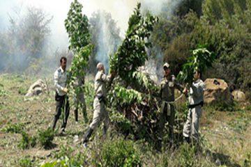 پلیس اولین عکس از مزرعه ماری جوانا در جنگل نکا را انتشار داد