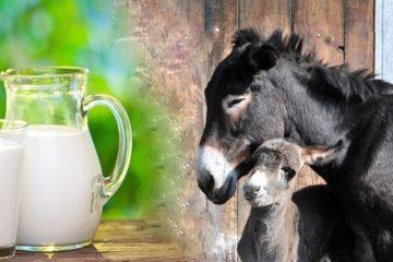 سلامت شیرهای الاغ موجود در بازار در هاله ای از ابهام