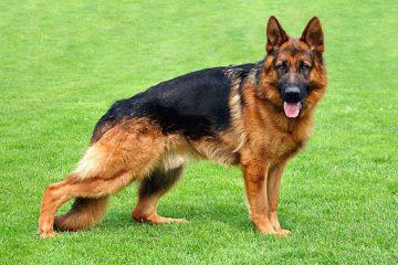 مثبت شدن آزمایش کرونای دومین سگ